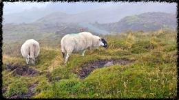 Den Schafen ist das Mistwetter egal