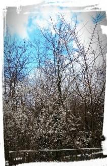 Weiße Blüten, Freinsheim