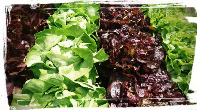 Salate im Hochbeet